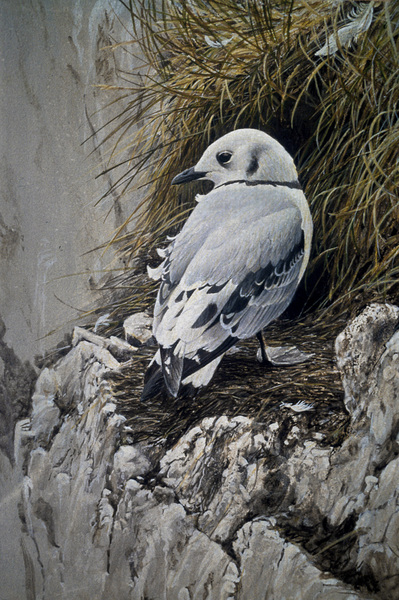 Robert Bateman Young Kittiwake