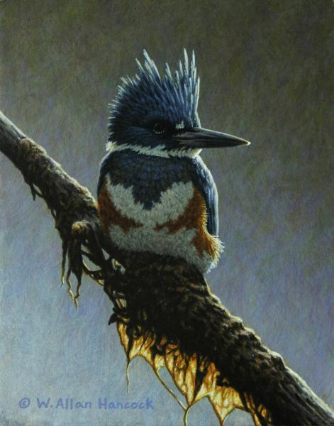 W. Allan Hancock Tidal Perch - Belted Kingfisher