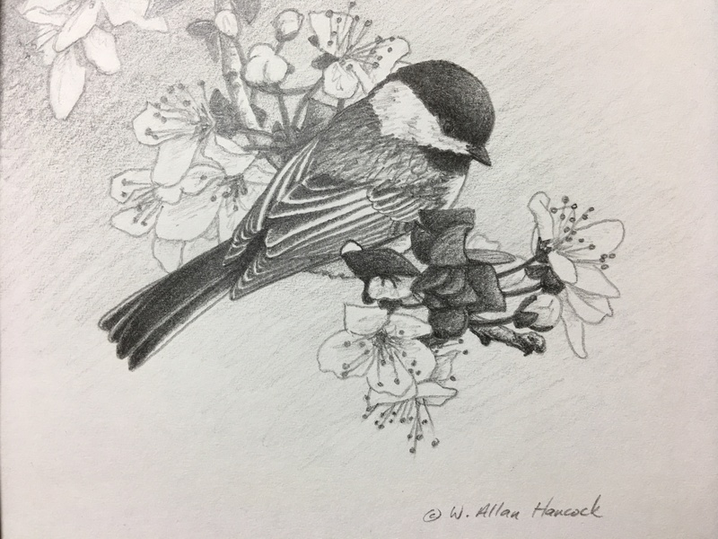 W. Allan Hancock Chestnut - backed Chickadee & Cherry Blossoms