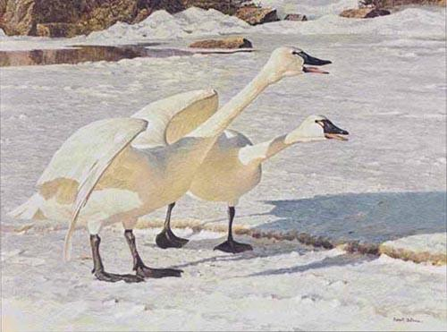 Robert Bateman Courting Pair Whistling Swans