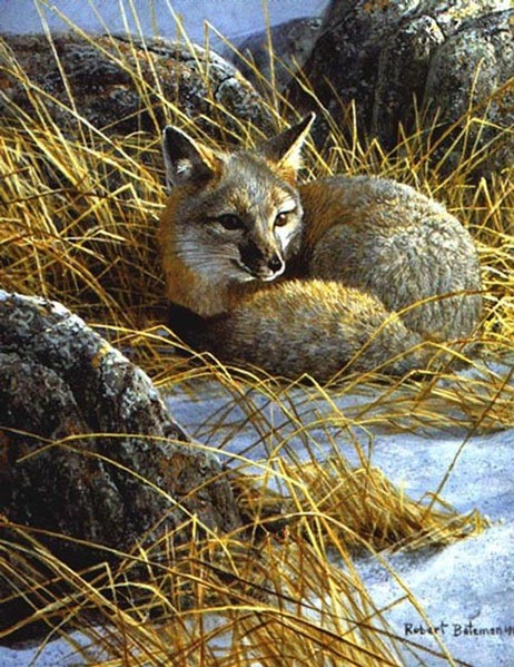 Robert Bateman Curled Up Swift Fox