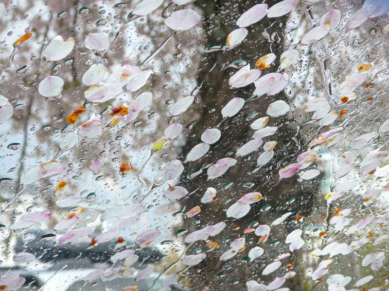 Ornamental Cherry Petals (Victoria, BC) by Birgit Freybe Bateman