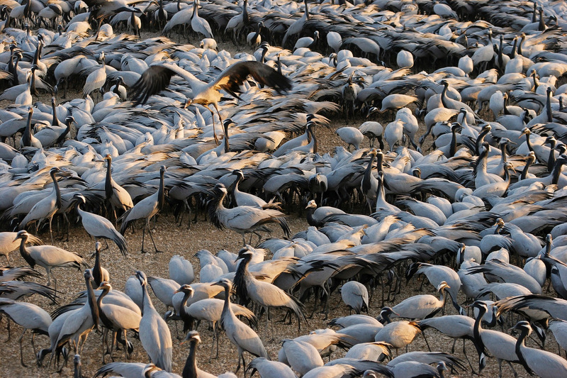 Curve of Cranes (Keechan, Rajasthan, India)   	 by Birgit Freybe Bateman