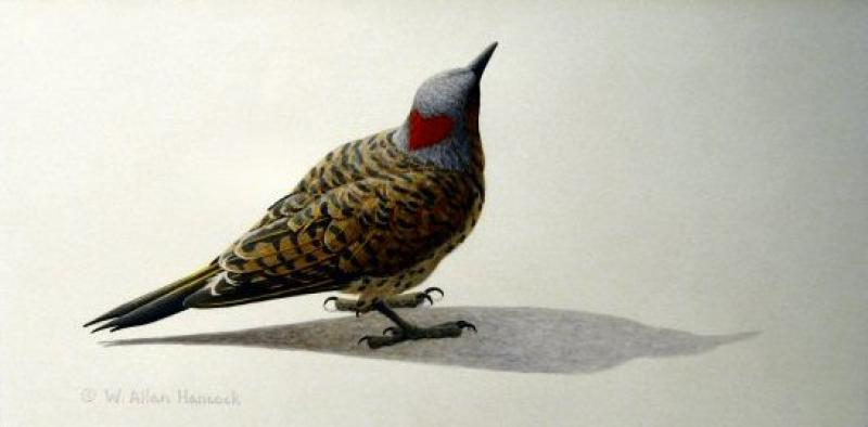 W. Allan Hancock Looking For Love- Northern Flicker