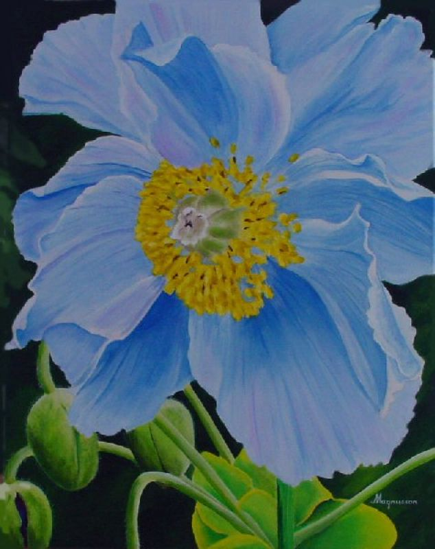 Dennis Magnusson Blue Himalayan Poppy II
