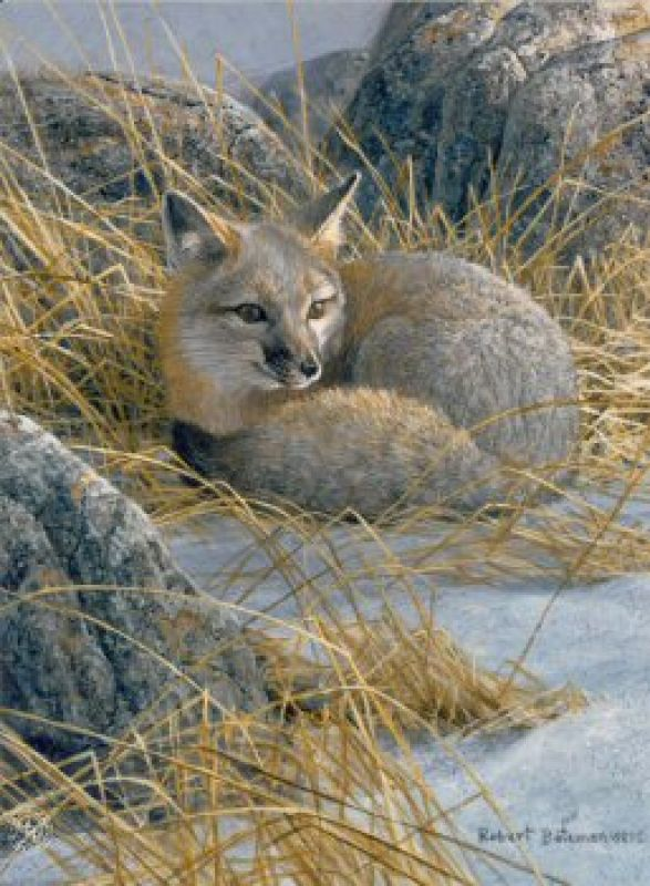 Robert Bateman Curled Up - Swift Fox