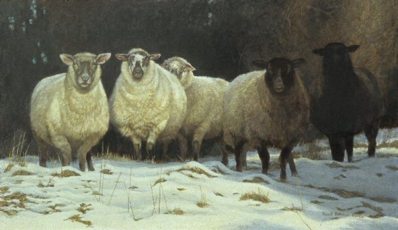 Robert Bateman On Saltspring - Sheep