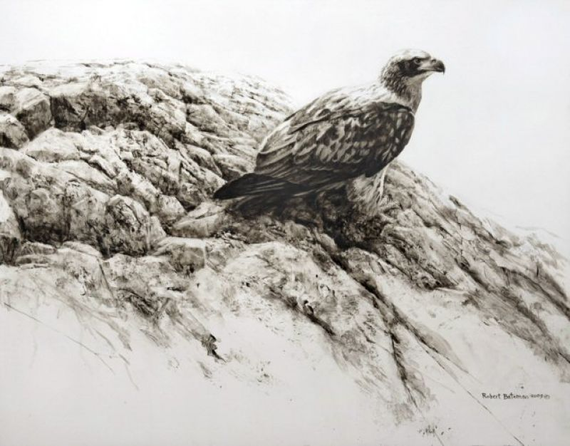 Robert Bateman Immature Bald Eagle II