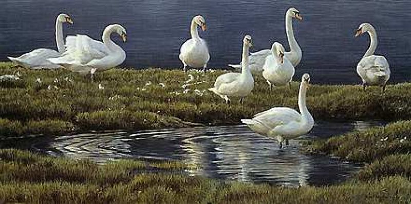 Robert Bateman Bank of Swans