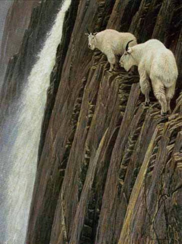 Robert Bateman Sheer Drop - Moutain Goats