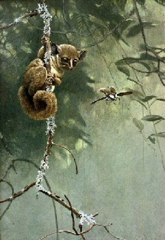 Robert Bateman Bushbaby and Beetle