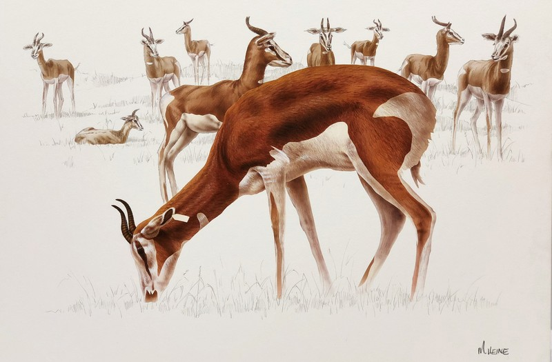 Mark Heine Antelope Grazing