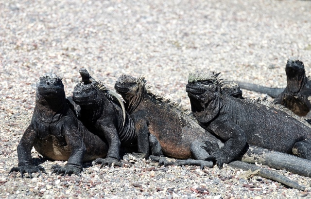 Family Portrait, Marine Iguanas by Monica Reekie
