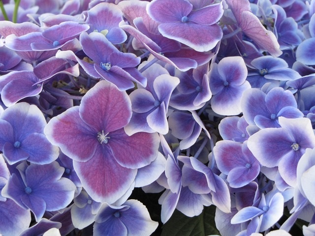 Hydrangea by Monica Reekie