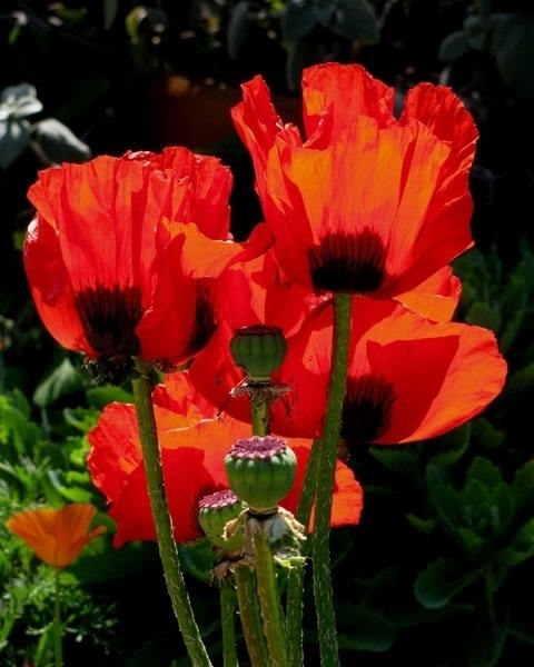 Poppies by Monica Reekie