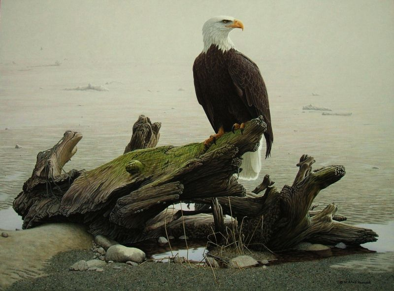 W. Allan Hancock Morning Solitude  - Bald Eagle