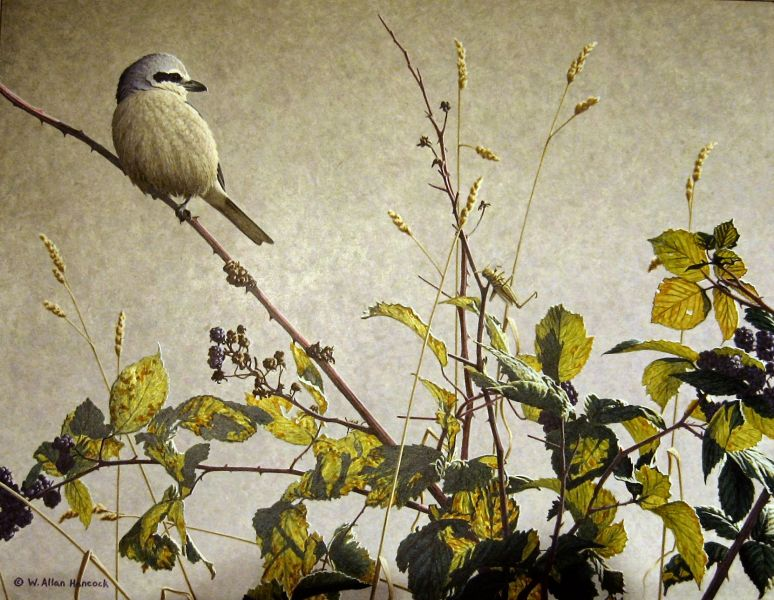 W. Allan Hancock Time of Plenty - Northern Shrike