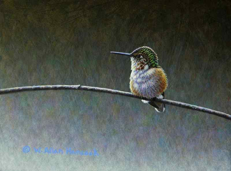 W. Allan Hancock On The Slope - Rufous Hummingbird