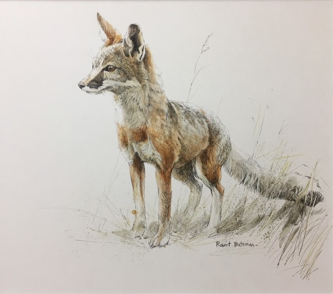 Robert Bateman Kit Fox