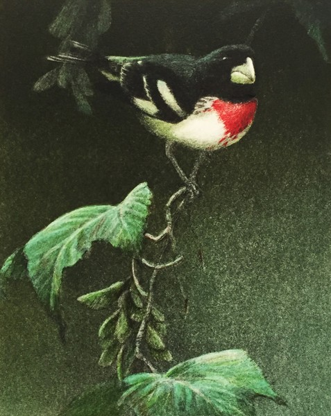 Robert Bateman Rose-breasted Grosbeak (AP 3/23)