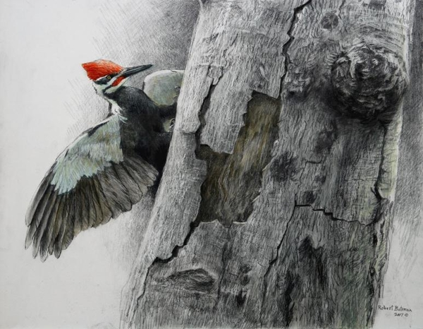 Robert z Bateman Pileated Woodpecker