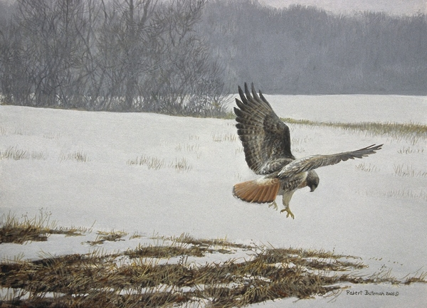 Robert z Bateman Swanson's Field - Red Tail Hawk