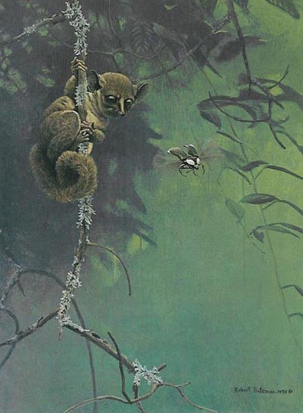 Robert z Bateman Bush Baby And Beetle