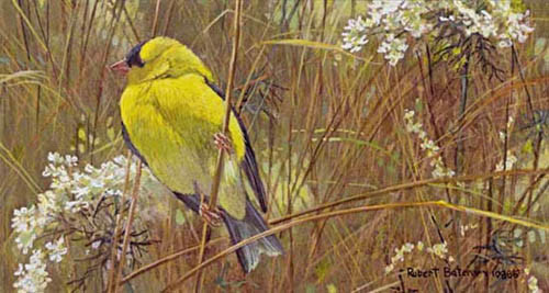 Robert z Bateman Goldfinch in the Meadow