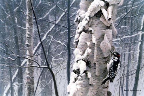 Robert z Bateman Hairy Woodpecker On Birch