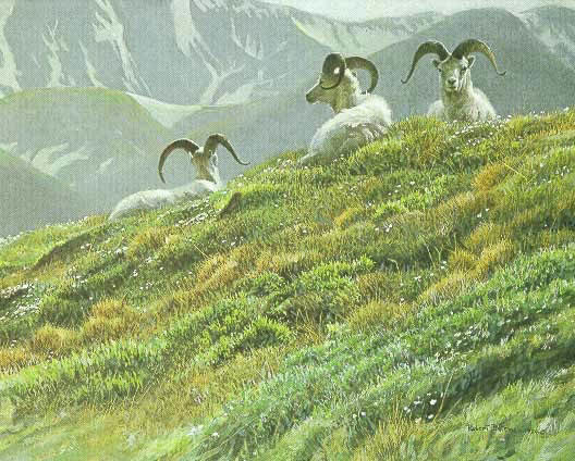 Robert z Bateman Mountain Meadow Dall Sheep