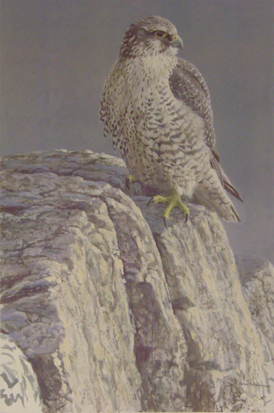 Robert z Bateman Mountain Monarch – Gyrfalcon