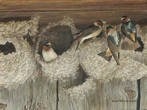 Robert z Bateman Under Construction – Cliff Swallows