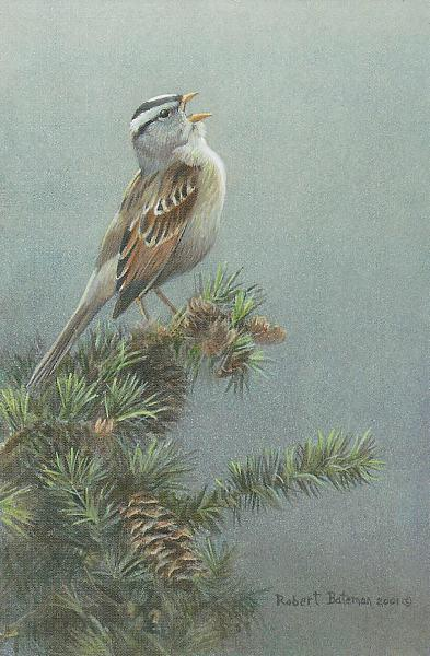 Robert z Bateman White Crowned Sparrow in Douglas Fir
