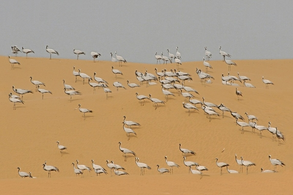 Demoiselle Cranes on Sand Dunes (Keechan, Rajasthan, India) by Birgit Freybe Bateman