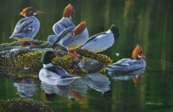 Mark z Hobson Common Mergansers: Fixing Feathers