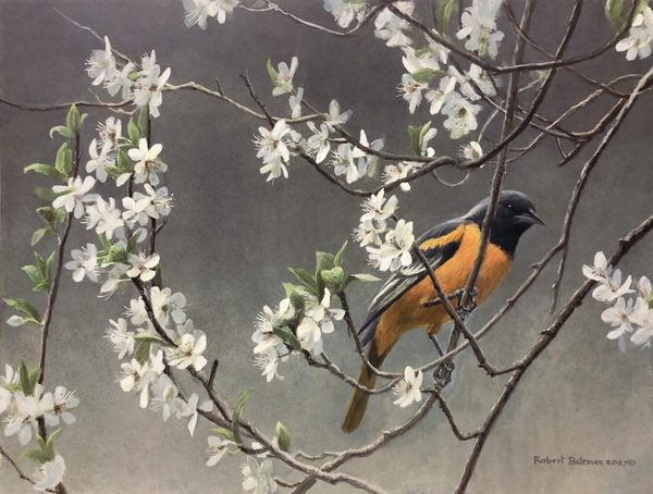 Robert z Bateman Baltimore Oriole and Plum Blossoms