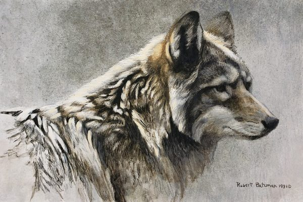 Robert z Bateman Coyote Head Study