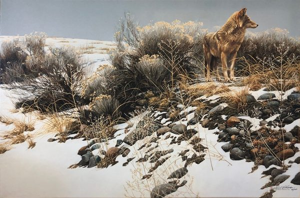 Robert z Bateman Coyote in Winter Sage