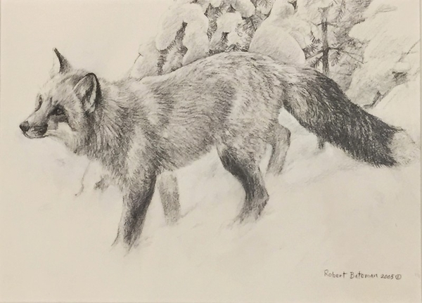 Robert z Bateman Fox Drawing