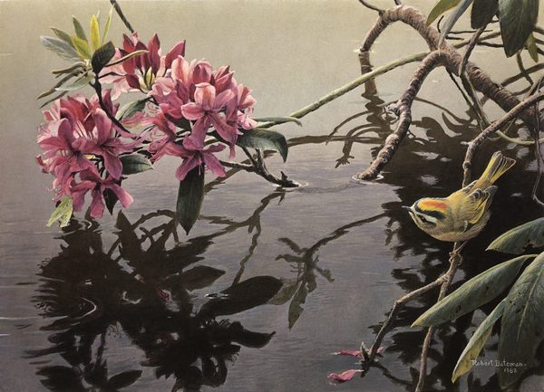 Robert z Bateman Golden-Crowned Kinglet and Rhododendron