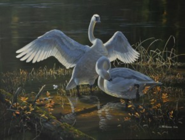 Mark z Hobson Trumpeter Swans: Autumn Morning