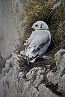 Robert z Bateman Young Kittiwake