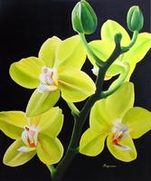 Dennis Magnusson Yellow Phalaenopsis Orchid