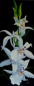 Dennis z Magnusson White Fairy Orchid