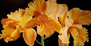 Dennis z Magnusson Apricot Cattleya Orchid