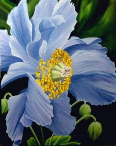 Dennis z Magnusson Blue Himalayan Poppy