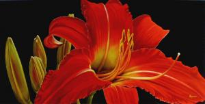Dennis z Magnusson Red Sunset (Daylily)