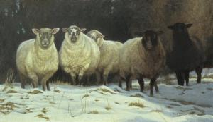 Robert z Bateman On Saltspring - Sheep
