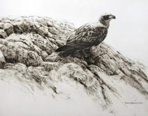 Robert z Bateman Immature Bald Eagle II
